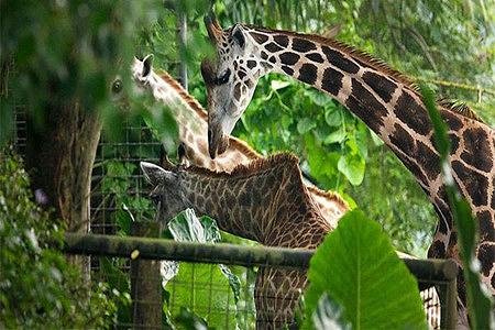脆弱森林:雨林和红树林生态系统,无脊椎动物,鼷鹿,环尾狐猴,二趾树懒
