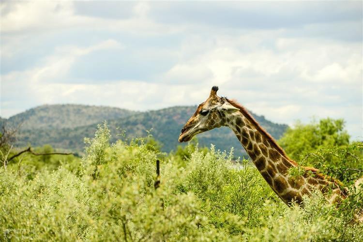 三大野生动物园之一的比林斯堡国家动物保护区追踪狮子,大象,长颈鹿