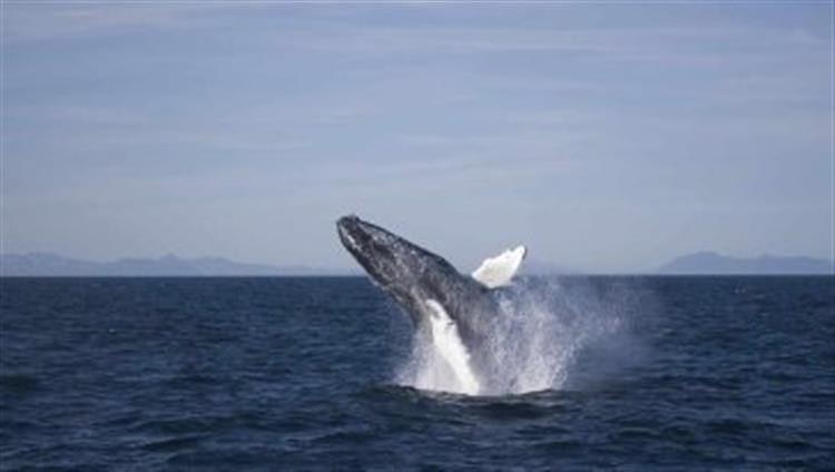 壁纸 动物 海洋动物 鲸鱼 桌面 750_424