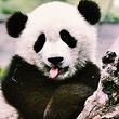 【促销产品巴士自由行】熊猫基地往返车位+熊猫基地门票
