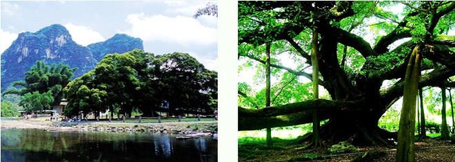 桂林大漓江(磨盘山码头)-阳朔一日游(全程漓江,大榕树,月亮山,聚龙潭