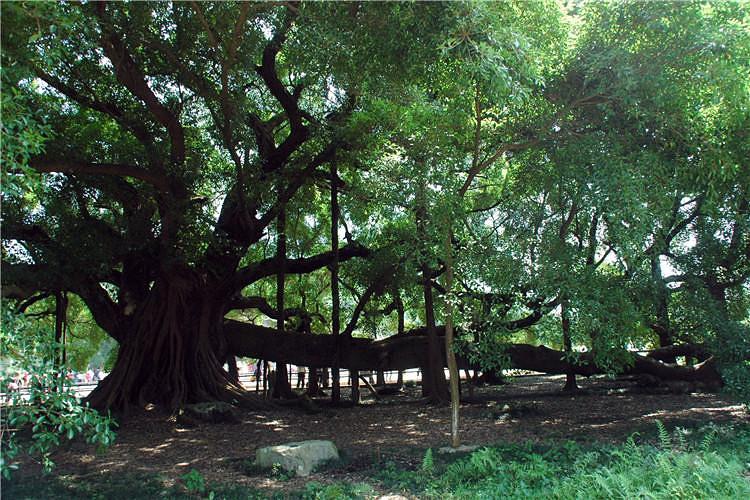 壁纸 树 榕树 750_500