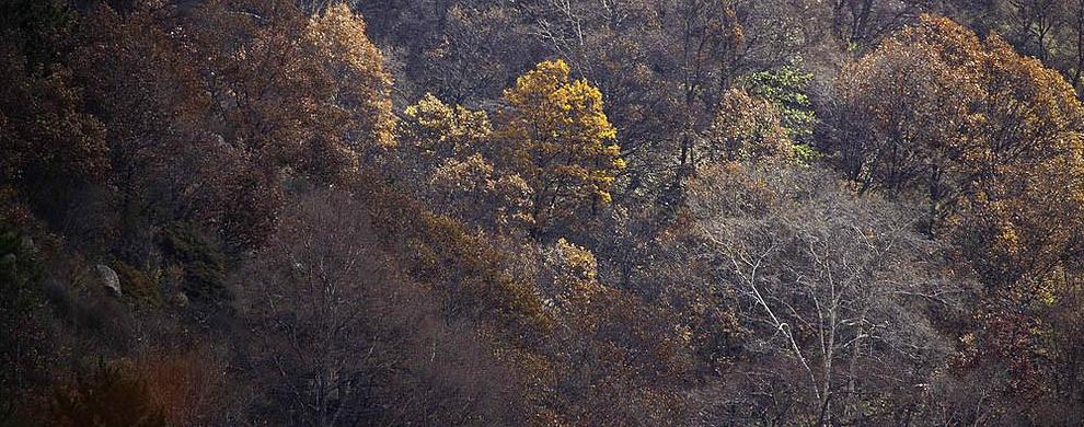 茂密红桦林