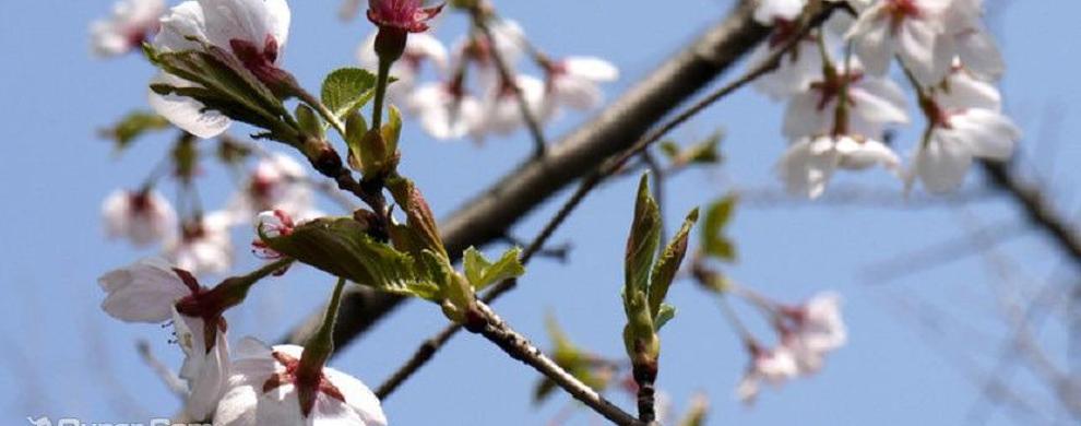 樱花时节美