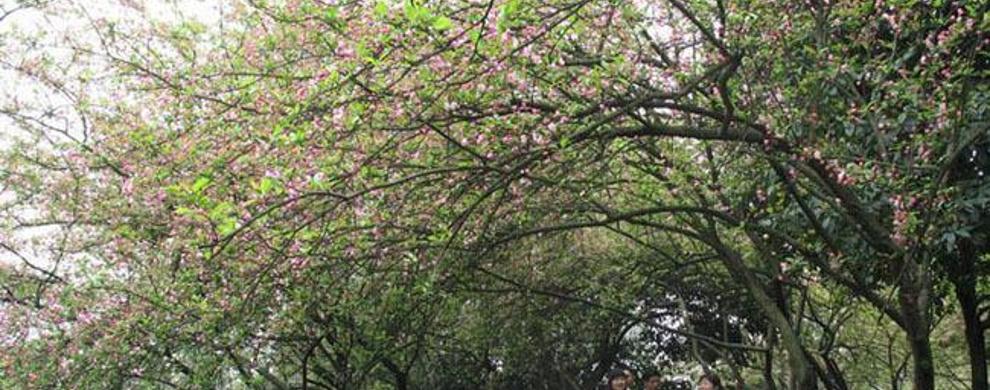 海棠烟雨路