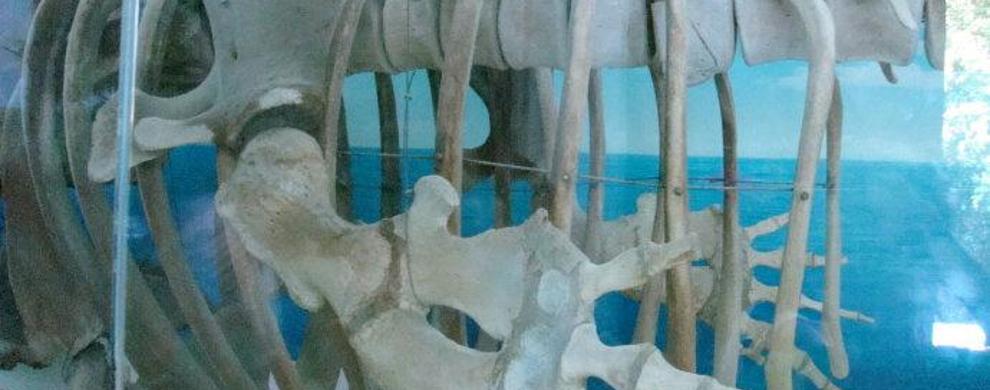 抹香鲸标本馆