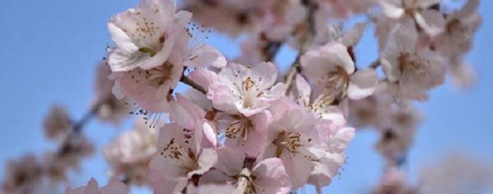 早春赏桃花