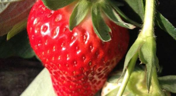兴寿秀秀草莓采摘园