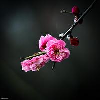 南京梅花节