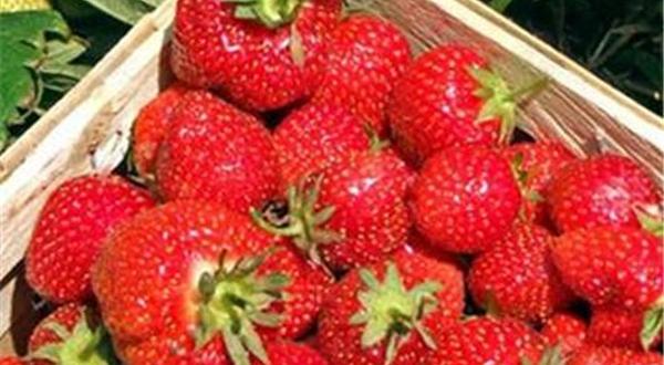 太湖西山西施草莓园