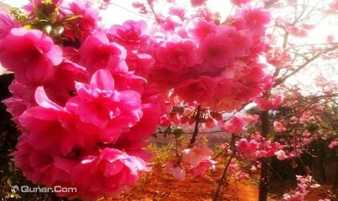 绵阳门票 盛世樱花悠乐谷   [四川 •绵阳 •三台县] 景区