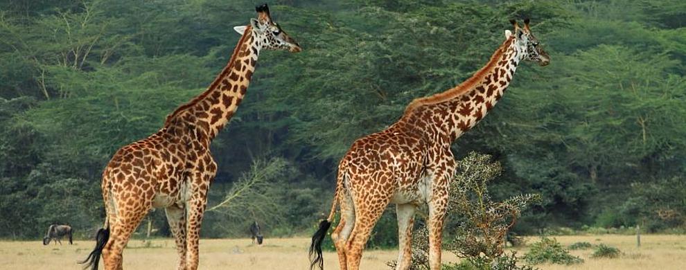 长颈鹿出没!