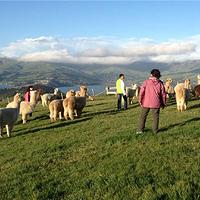 莎玛拉羊驼牧场