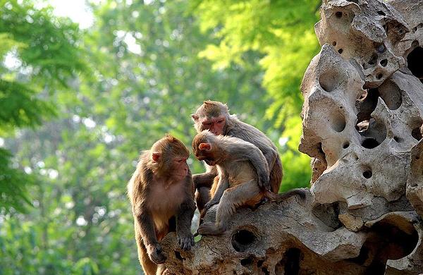 动物园中共有56只猴子,其中大猴子是小猴的7倍,动物园