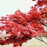 中华红枫园