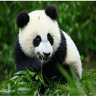 卧龙中华大熊猫苑神树坪基地
