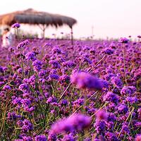 紫海芳庭薰衣草庄园