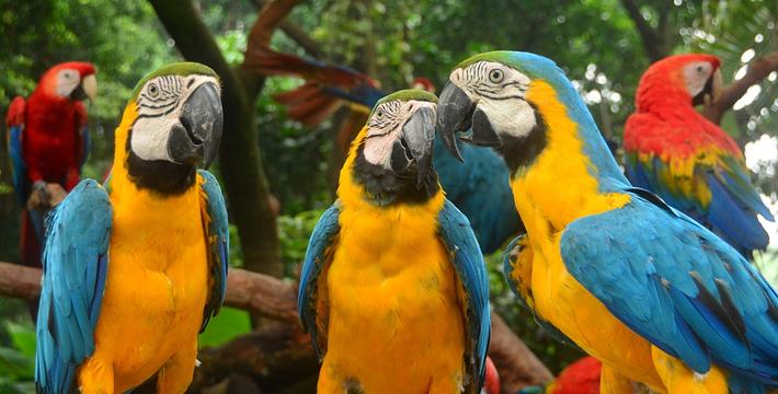 壁纸 动物 鸟 鹦鹉 710_360