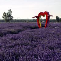 科古尔琴薰衣草园