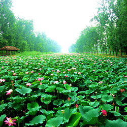 滕州微山湖红荷湿地景区