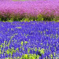 大理云海芳草千亩花卉博览园