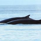 雷克雅未克观鲸