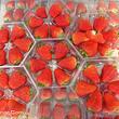 天然红草莓采摘园