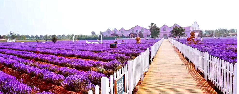 世界上离海最近的薰衣草庄园