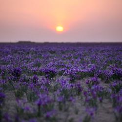 马兰花草原