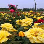 曹州玫瑰园