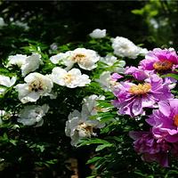 中川牡丹园