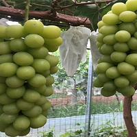 神农葡萄庄园