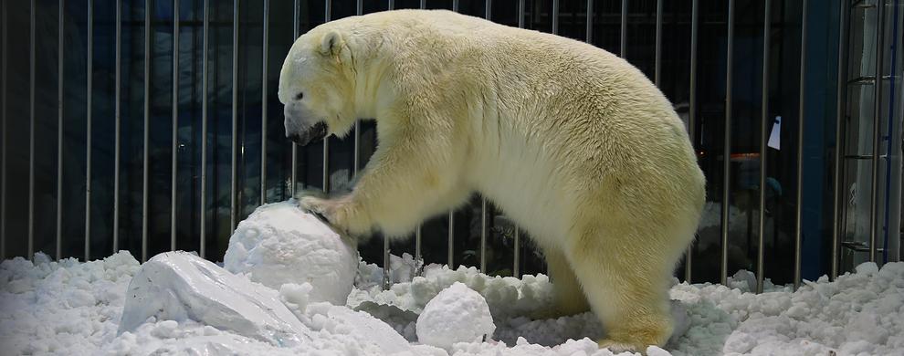 四、北极熊情景剧