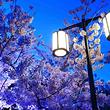 旅顺203樱花园