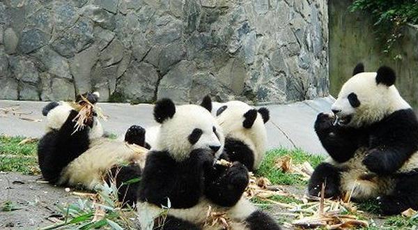 大熊猫 动物 600