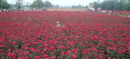天府玫瑰谷景區位于郫縣花園鎮,共種植了玫瑰、薰衣草等50多種花卉香草。這是一片姹紫嫣紅的玫瑰海。一條條隨風舞動的彩帶,一幕幕翻騰滾動的花海,記錄了孩童的歡樂和少女的情懷。這里是玫瑰的海洋,愛情的天堂。 在天府玫瑰谷除了賞花,你還可以租一輛自行車,呼吸著花香游弋。在景區內的開心農場還有大片的純綠色蔬菜等著你。 在這片芳香四溢,溫馨浪漫的花海中,感受被花海包圍的愜意,讓人神清氣爽、流連忘返,不知不覺沉醉其中,慢慢享受花海靜謐的悠閑時光.