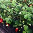 金潍多草莓采摘基地