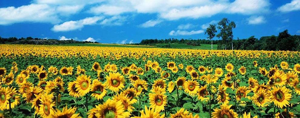 蓝天与向日葵
