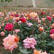 密云玫瑰情园