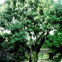宋家香古荔树
