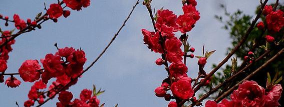 青岛赏花地图