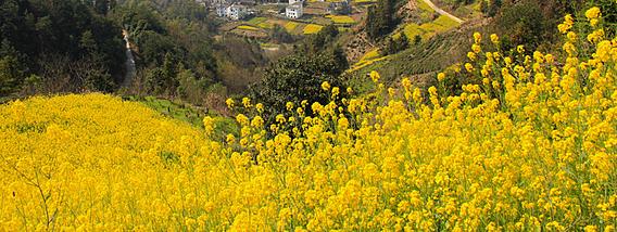 黄山花都开好了