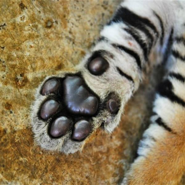 简直就是大型的猫,有时候还很黏人,我还亲了一口小老虎!