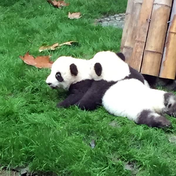 饲养员把小捆竹子插在地上,熊猫站起来吃树叶,折断竹子,或者一把拔