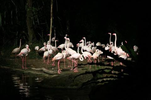 新加坡夜间野生动物园  难得有专门为夜间行动的动物