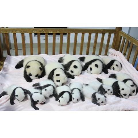 刚刚出生十几天和一个月的小熊猫宝宝,毛茸茸的,第一次近距离的观看图片