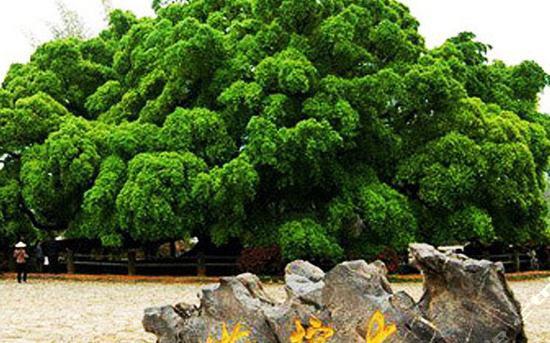 大榕树景区图片