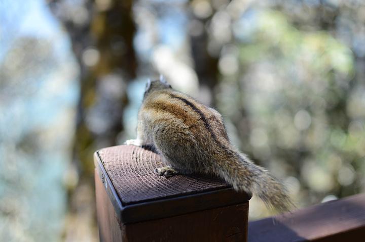 普达措的松鼠好可爱,经常在栈道跳上跳下