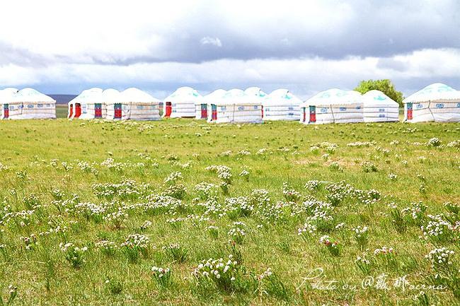 蒙古包外的草原上一大片狼毒花