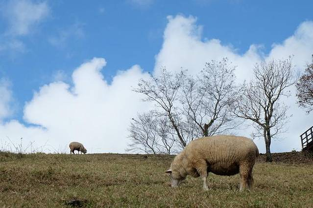 从台北到台中,出站包车到清境农场。经历山路蜿蜒,胆战心惊,一个半小时后,终于到达清境农场。农场坐拥于群山之间,视野广阔,空气清新,仿若人间仙境。其中最有名的景点是青青草原,以其绝美的自然风光和丰富的赏景娱乐活动,并有浓厚的欧洲田园风光,令人留连忘返。青青草原原本是一片原始森林,后来才被辟为畜牧区,辽阔的青翠草原和湛蓝的天空相连,葱翠草地上放养着很多绵羊。